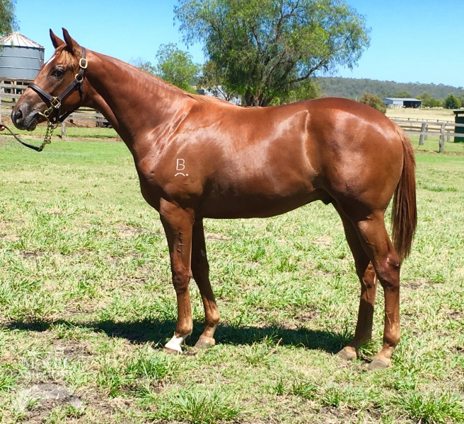 Tokoriki Lad at 2016 Gold Coast March Yearling Sale