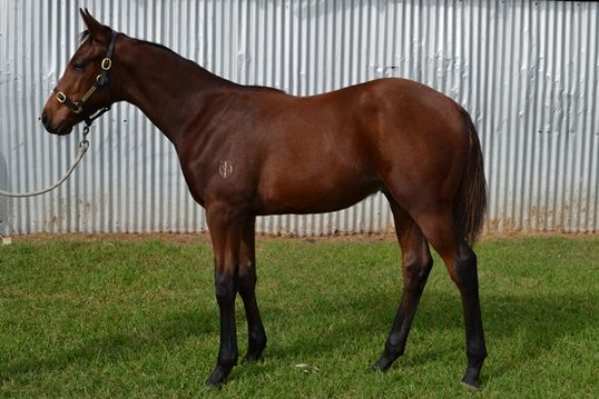 Universal Thief at 2014 Australian Broodmare and Weanling Sale