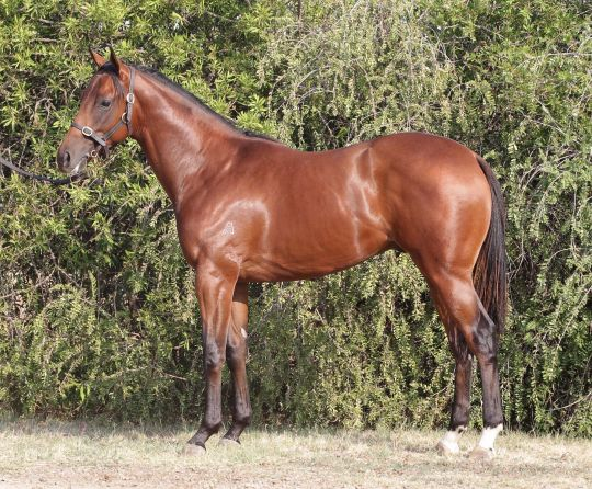 Northern Conqueror at 2014 Melbourne Premier Yearling Sale