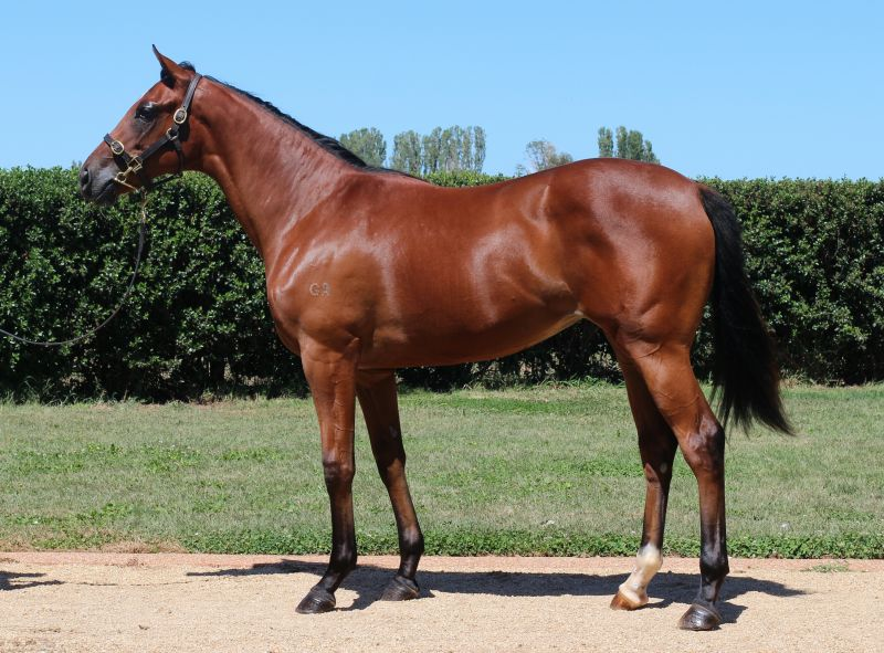 Anacreon at 2016 Melbourne Premier Yearling Sale