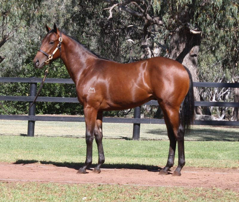 Safado at 2016 Melbourne Premier Yearling Sale