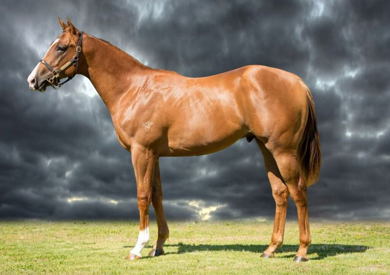 Patriot at 2016 Melbourne Premier Yearling Sale