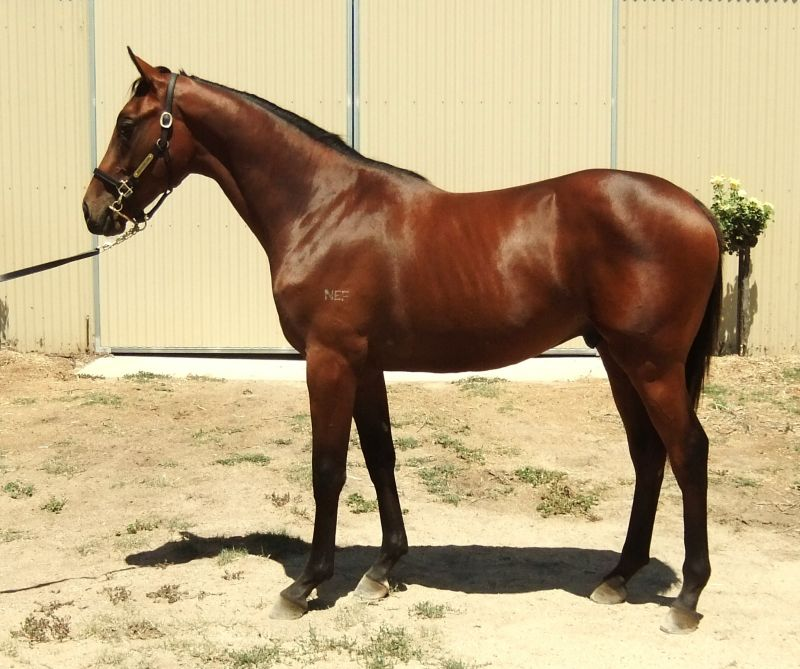 Creedence at 2016 Melbourne Premier Yearling Sale