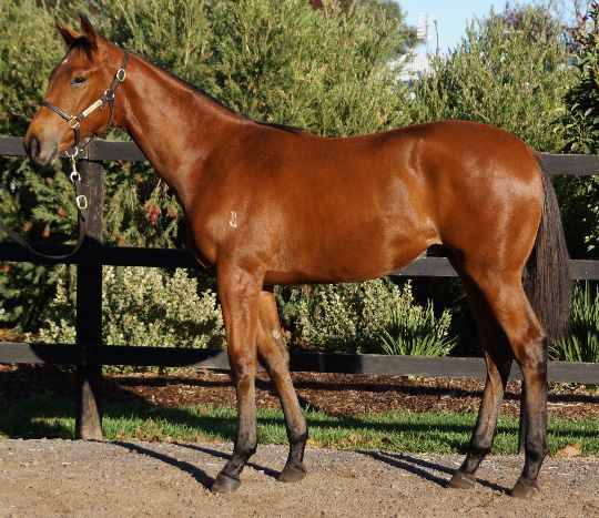 Demilitarized at 2016 Australian Broodmare and Weanling Sale