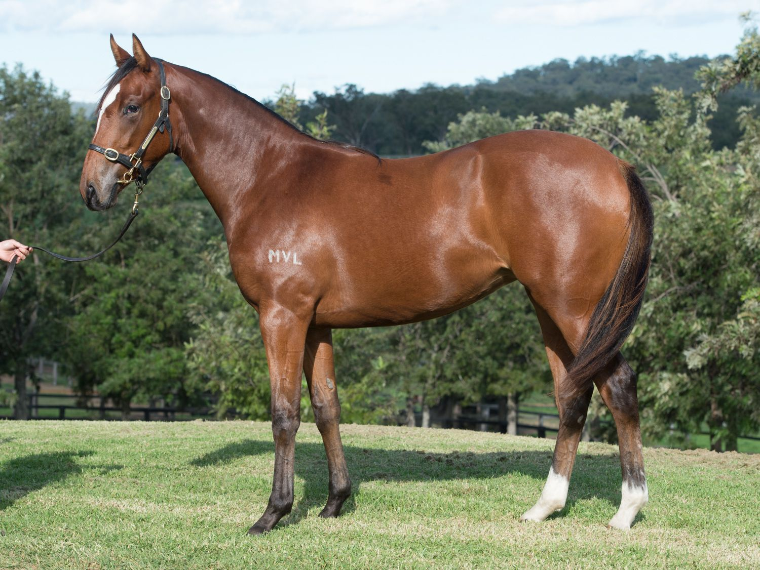 Monegal at 2017 Scone Yearling Sale