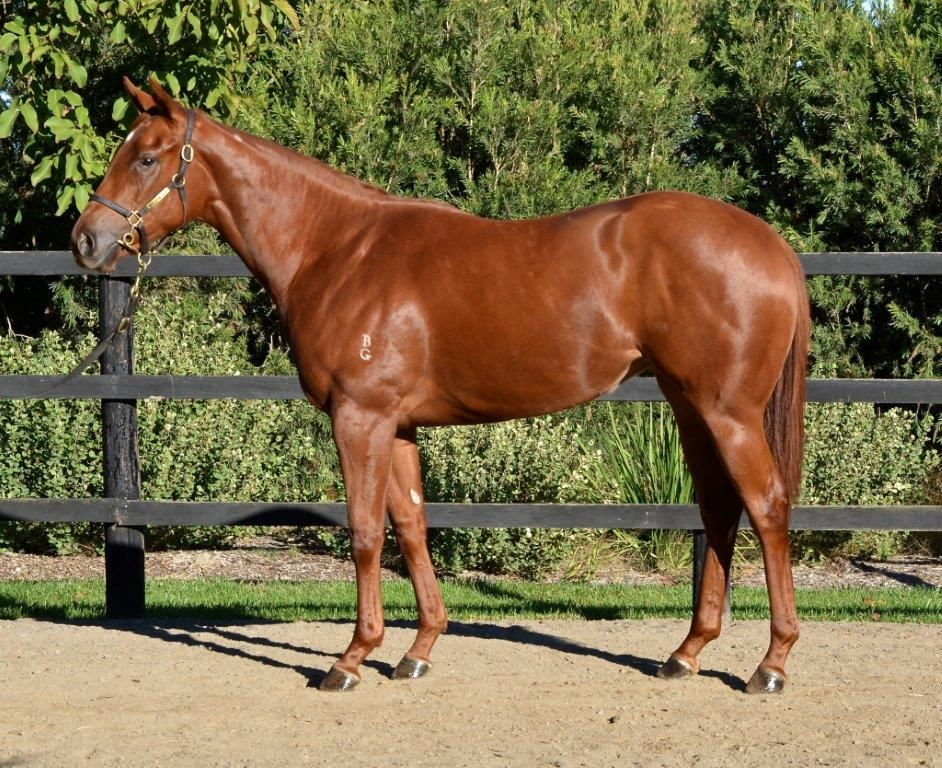 Afrikaans at 2017 Melbourne Vobis Gold Yearling Sale
