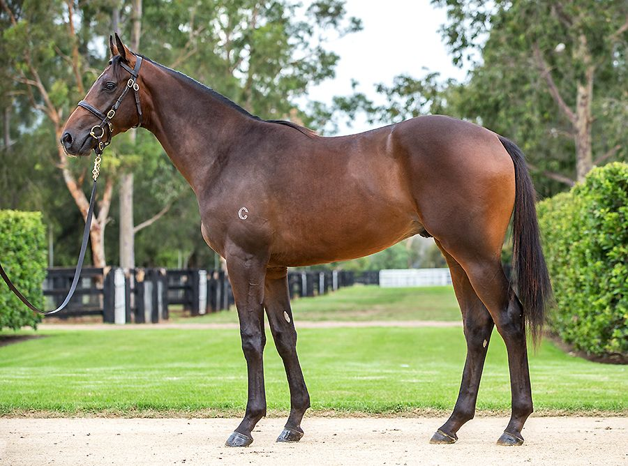 California Longbow at 2017 Australian Easter Yearling Sale