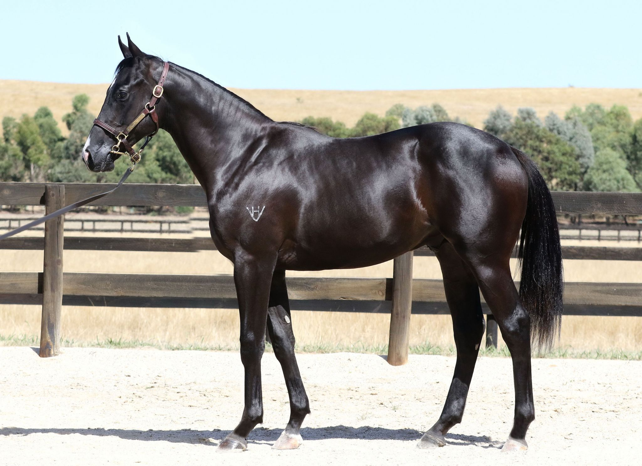 Boss Rock at 2017 Melbourne Premier Yearling Sale