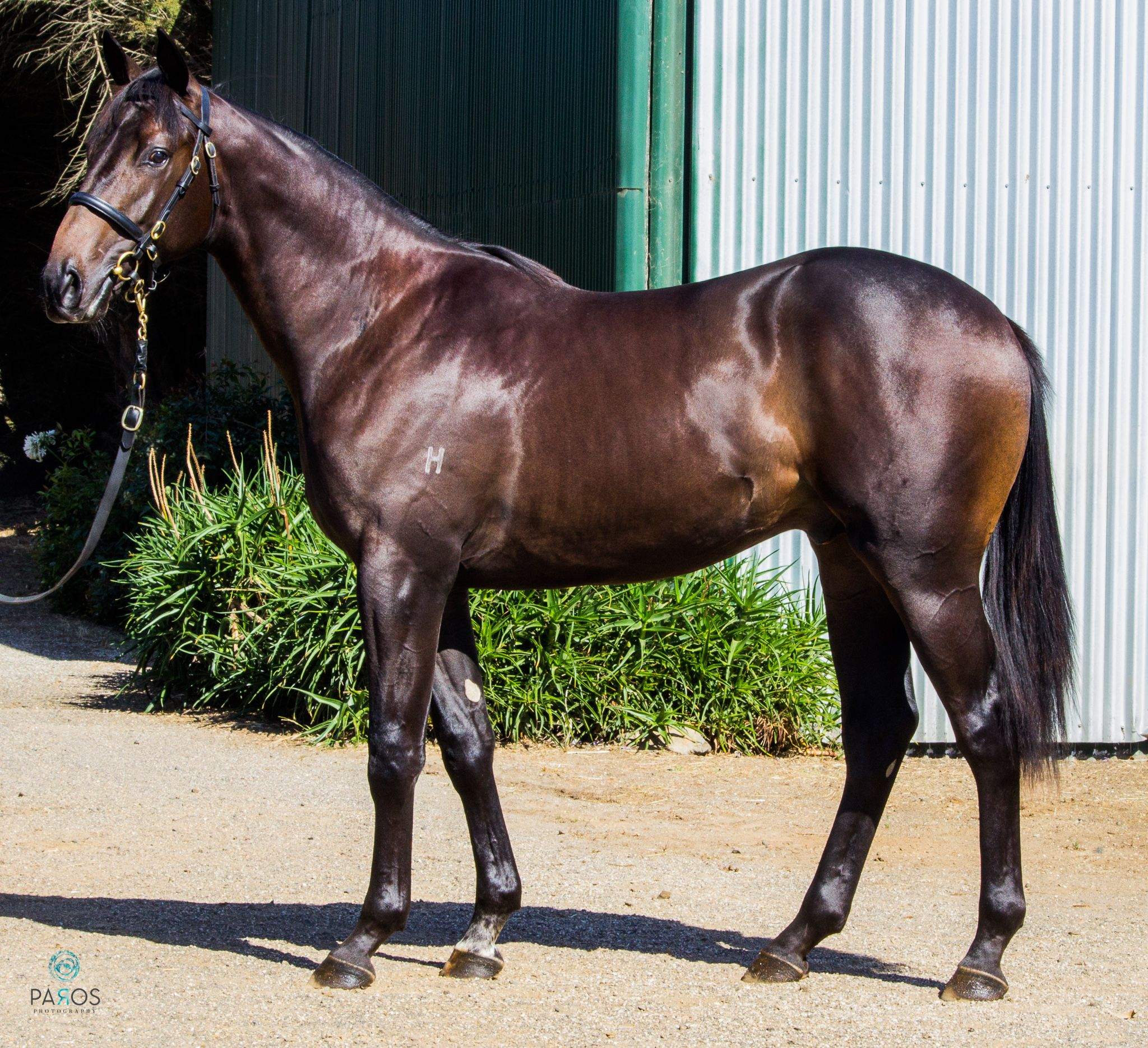 Laino at 2017 Melbourne Premier Yearling Sale