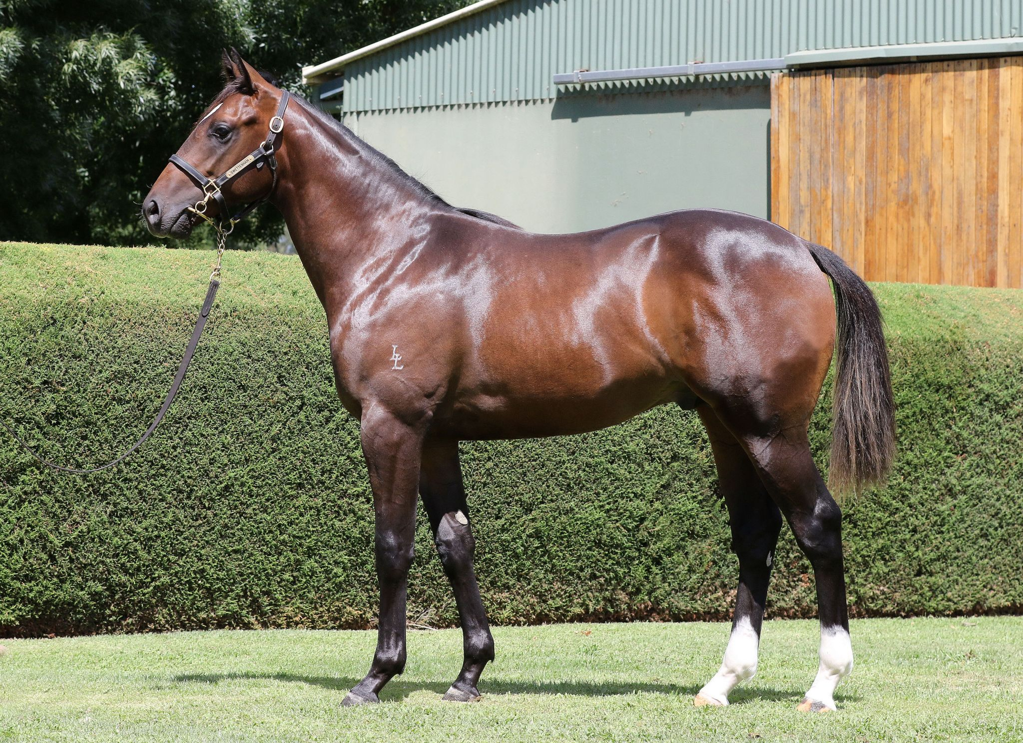 Hercules at 2017 Melbourne Premier Yearling Sale