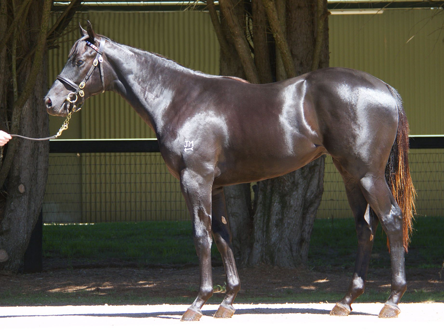 Maslow at 2017 Melbourne Premier Yearling Sale