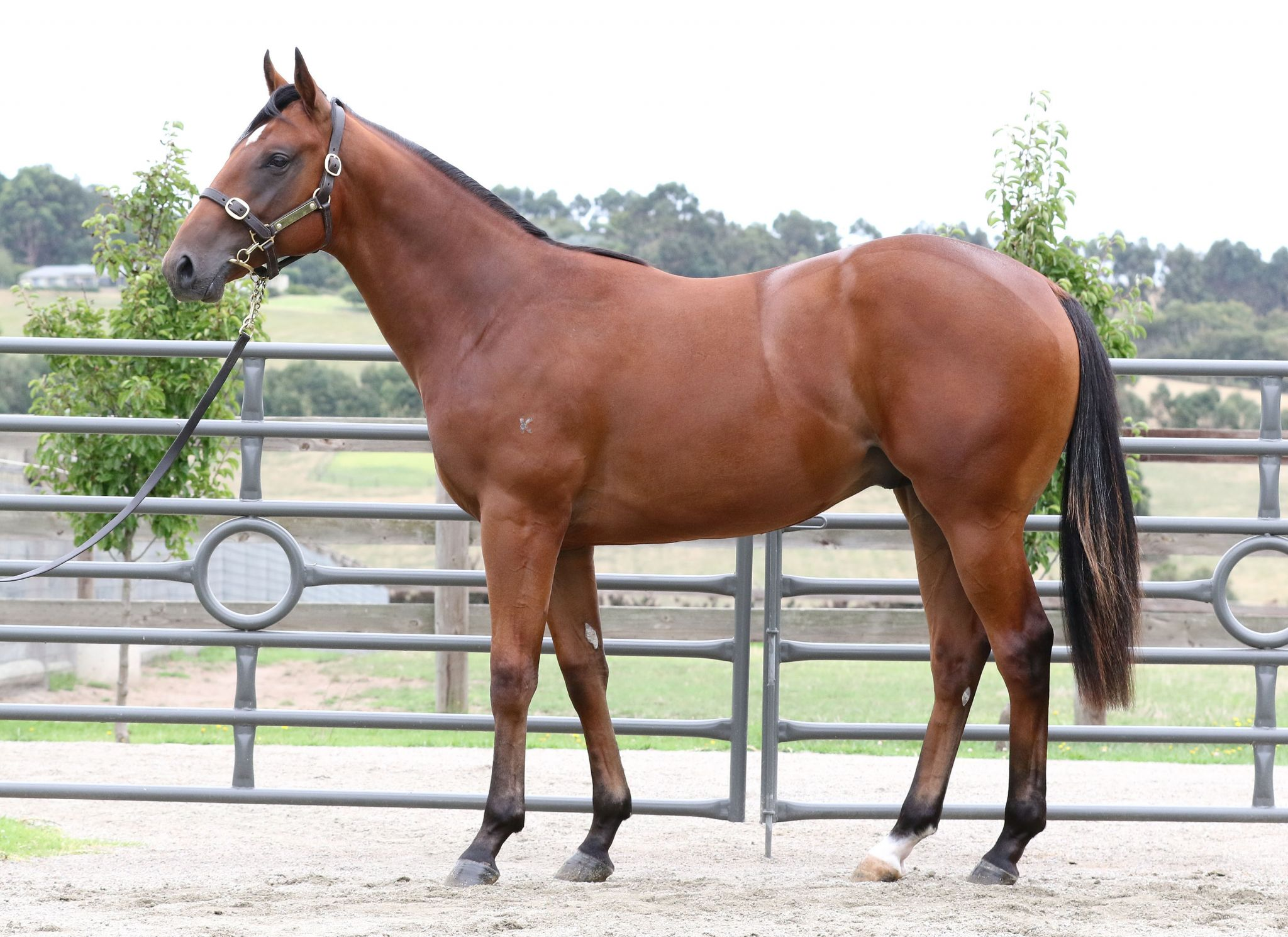 Serbelloni at 2017 Melbourne Premier Yearling Sale