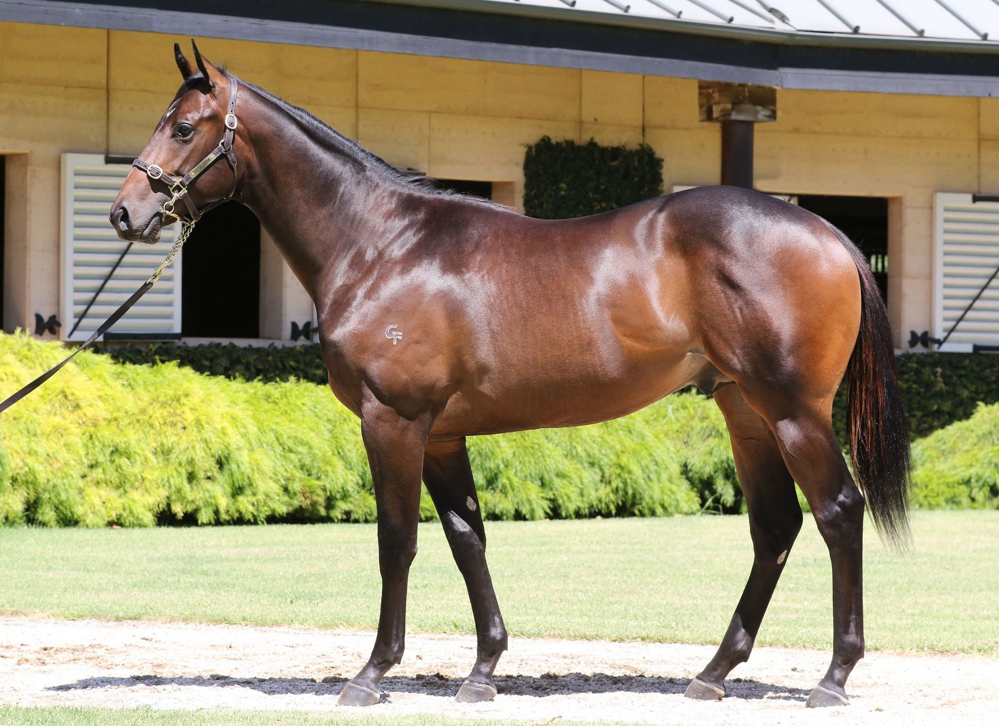 Belzu at 2017 Melbourne Premier Yearling Sale
