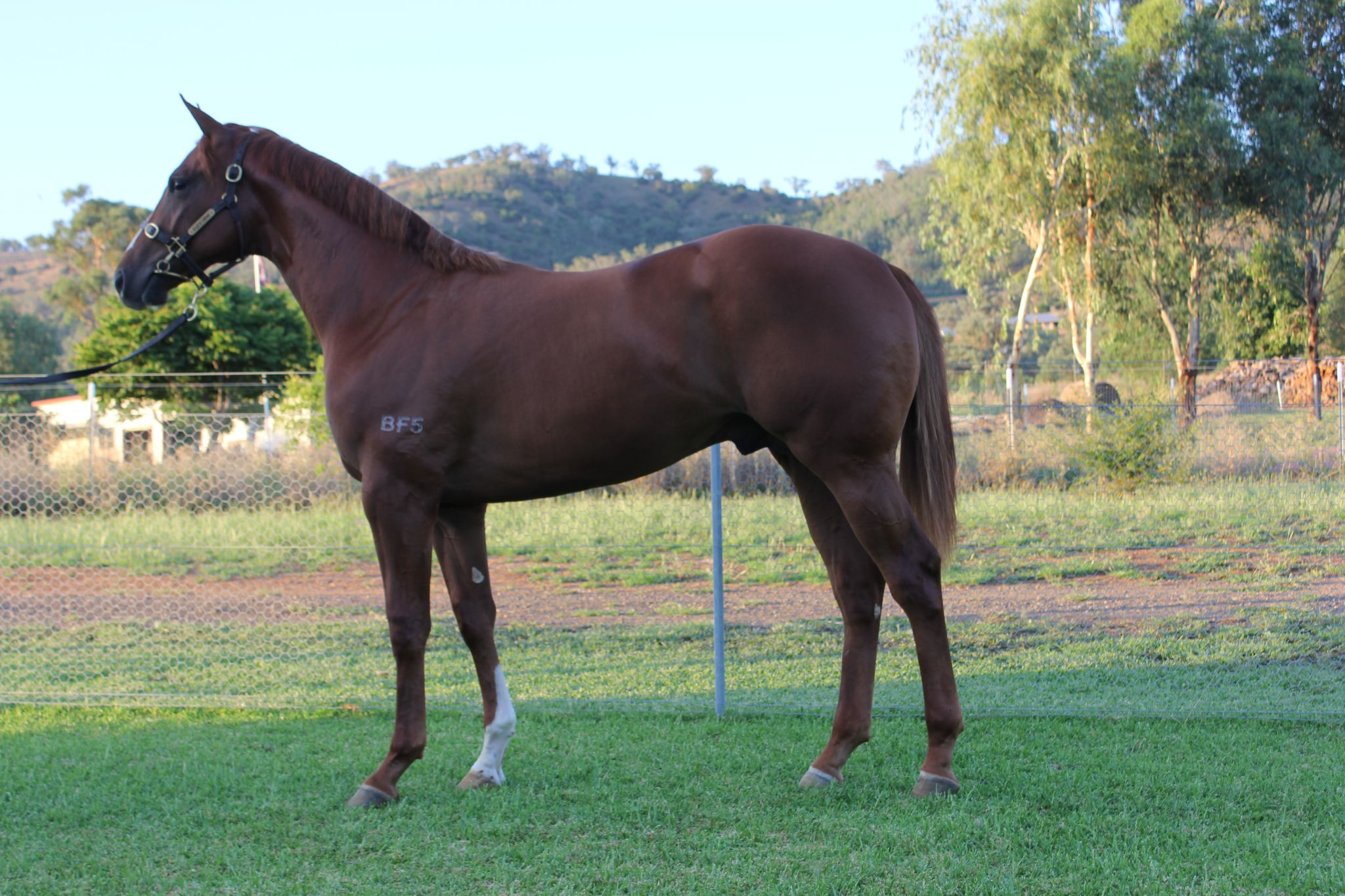 Foxy's Foxinator at 2017 Classic Yearling Sale