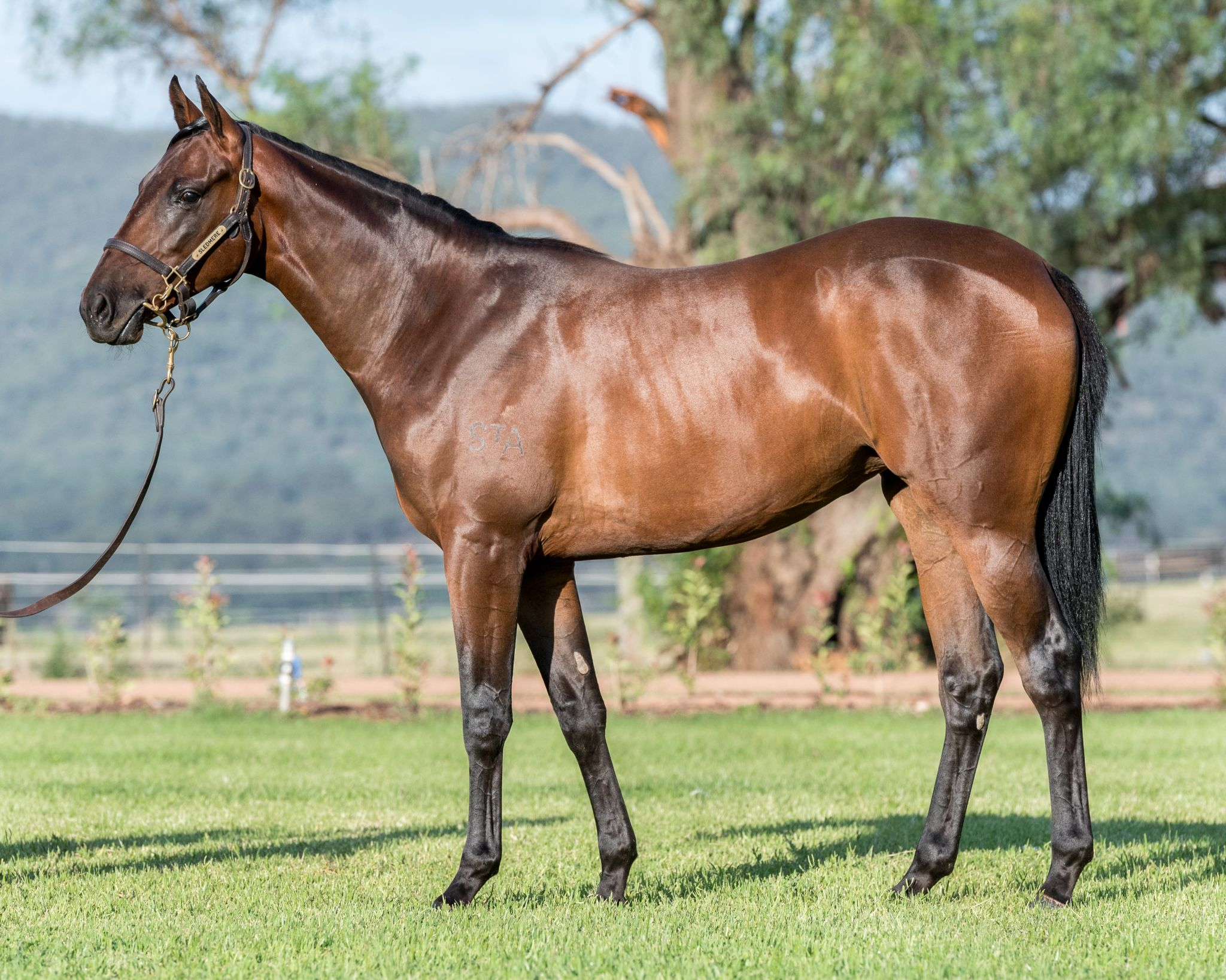 Coogee Dancer at 2017 Classic Yearling Sale