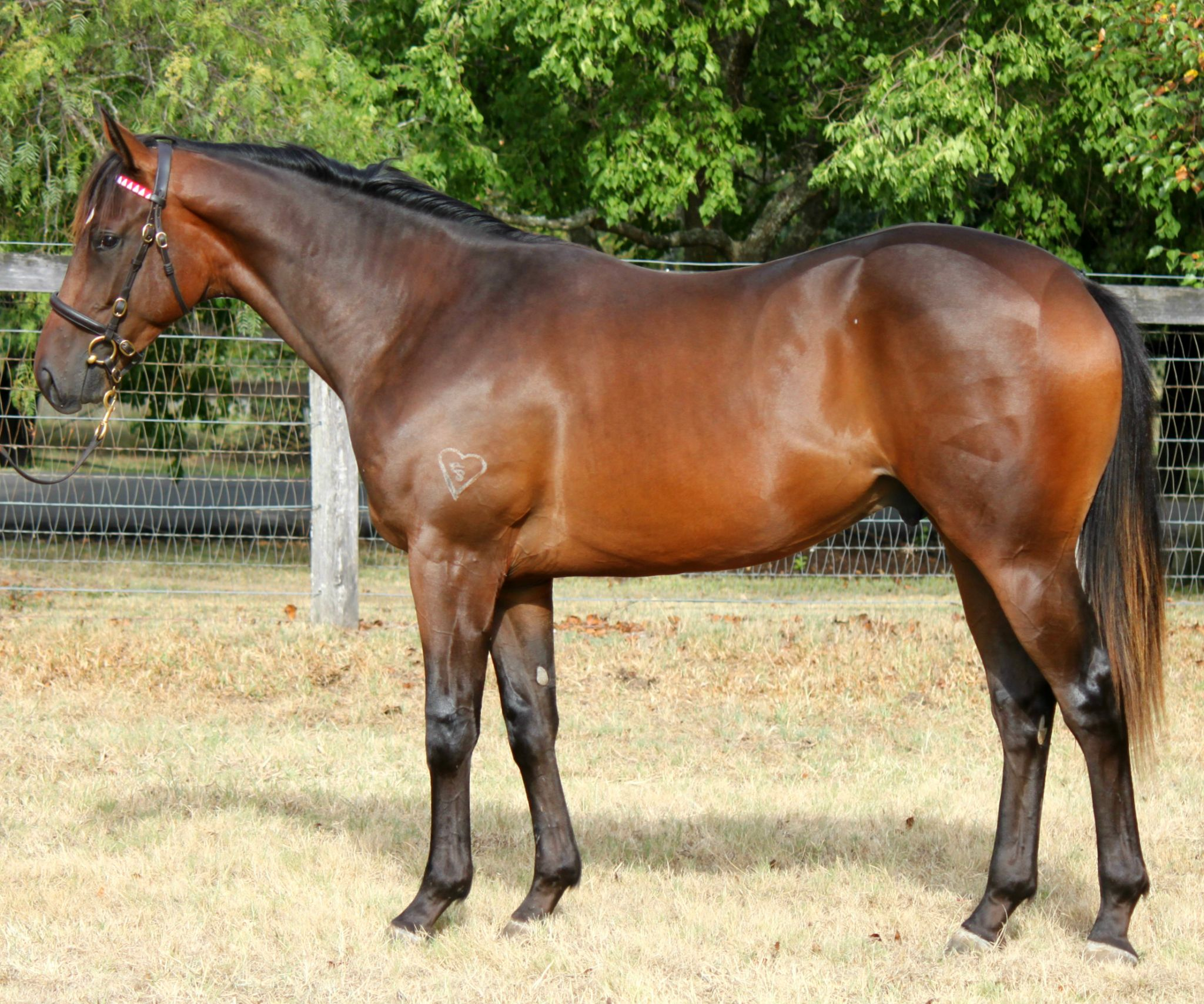 Coterie at 2017 Classic Yearling Sale
