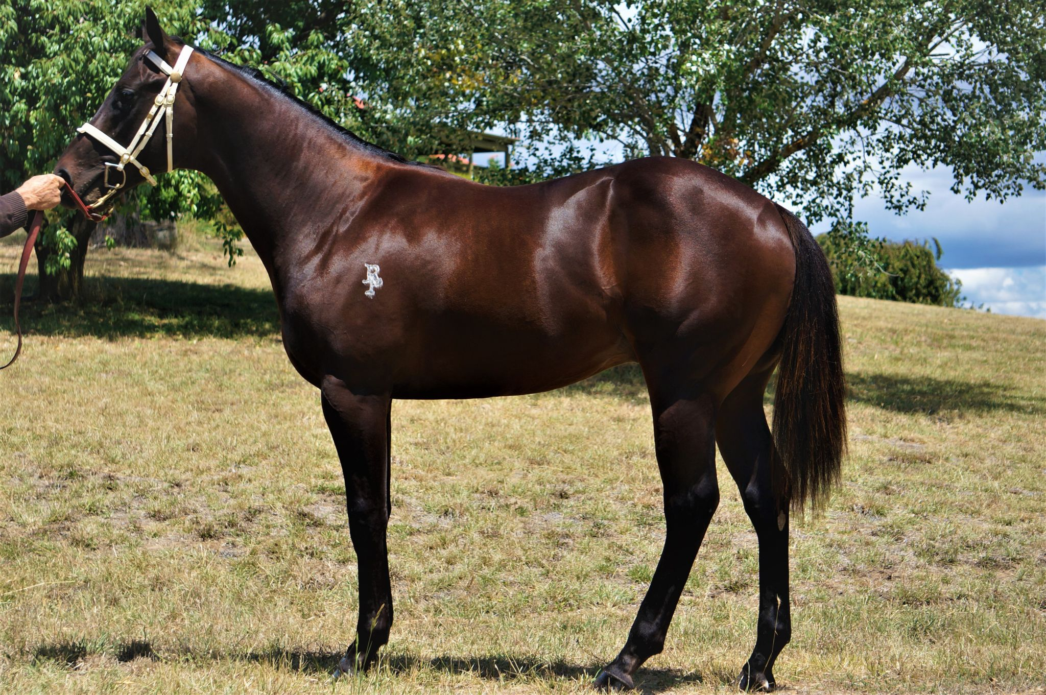 Oyashio at 2018 Classic Yearling Sale