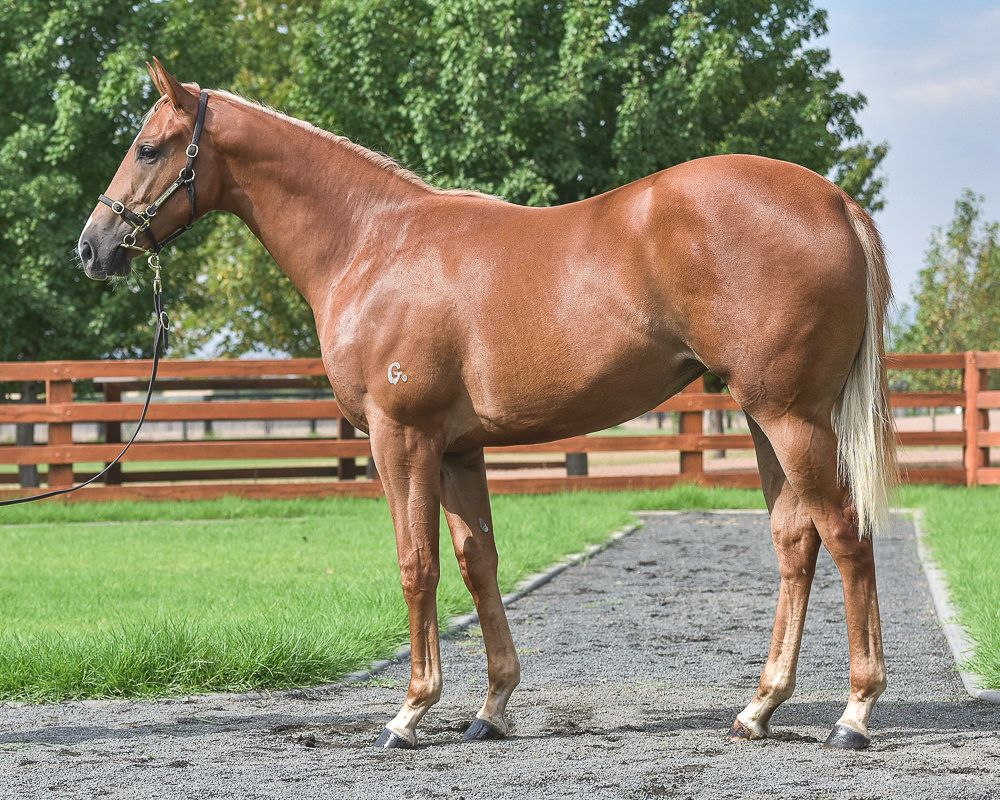 Blazing Miss at 2018 Classic Yearling Sale