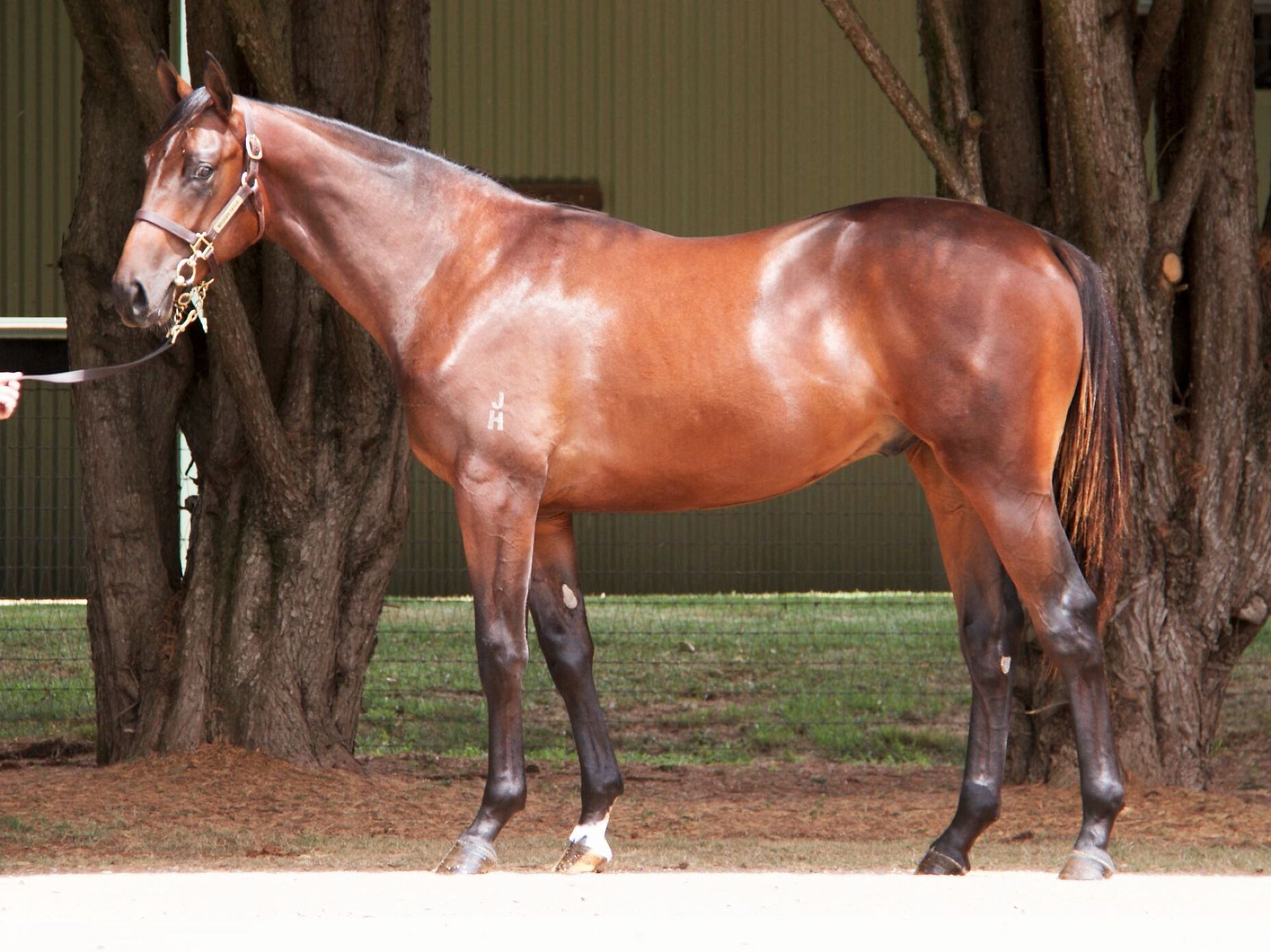 Mocambo at 2018 Classic Yearling Sale