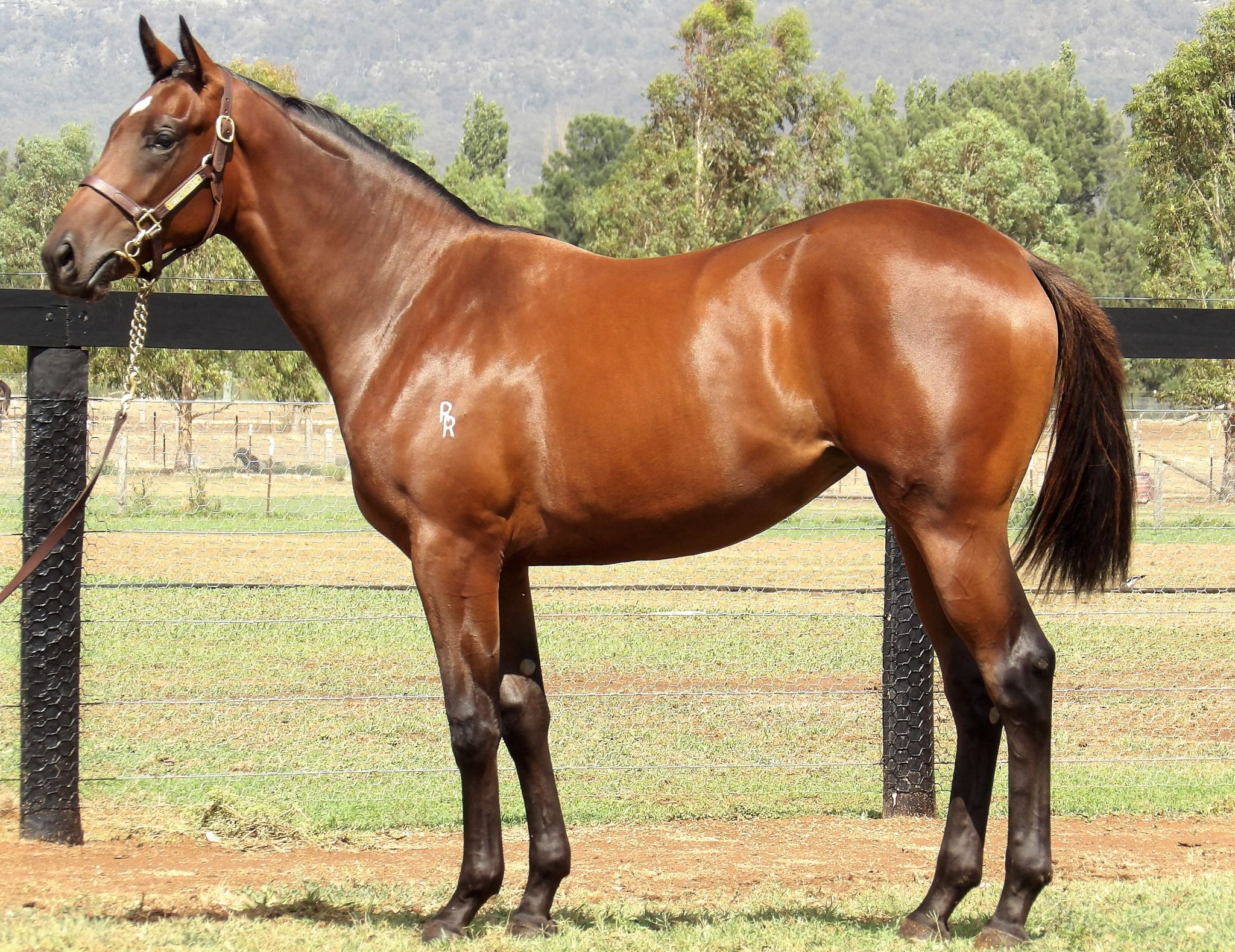 Snippy Fox at 2018 Classic Yearling Sale