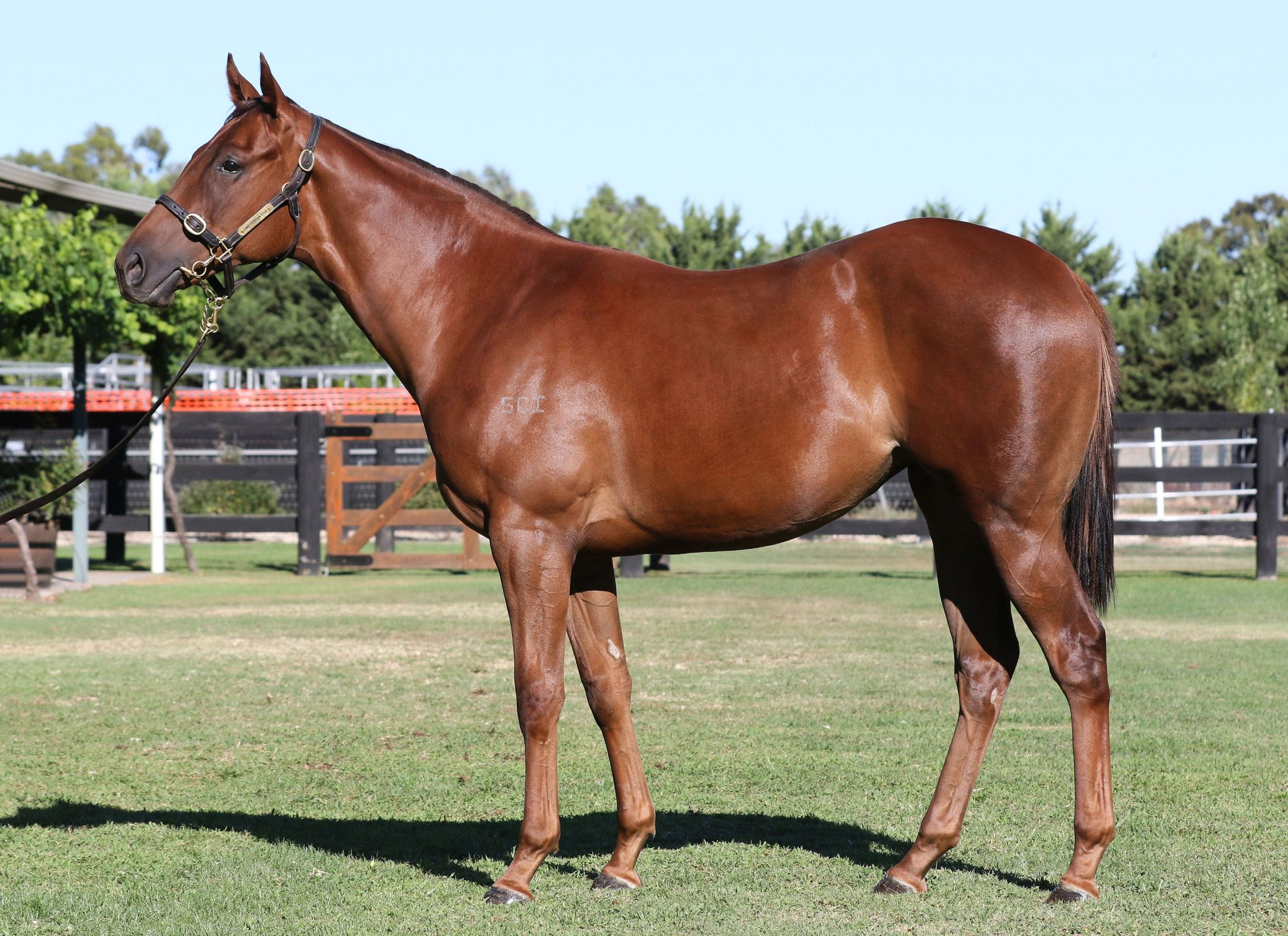 Intellective at 2018 Melbourne Premier Yearling Sale
