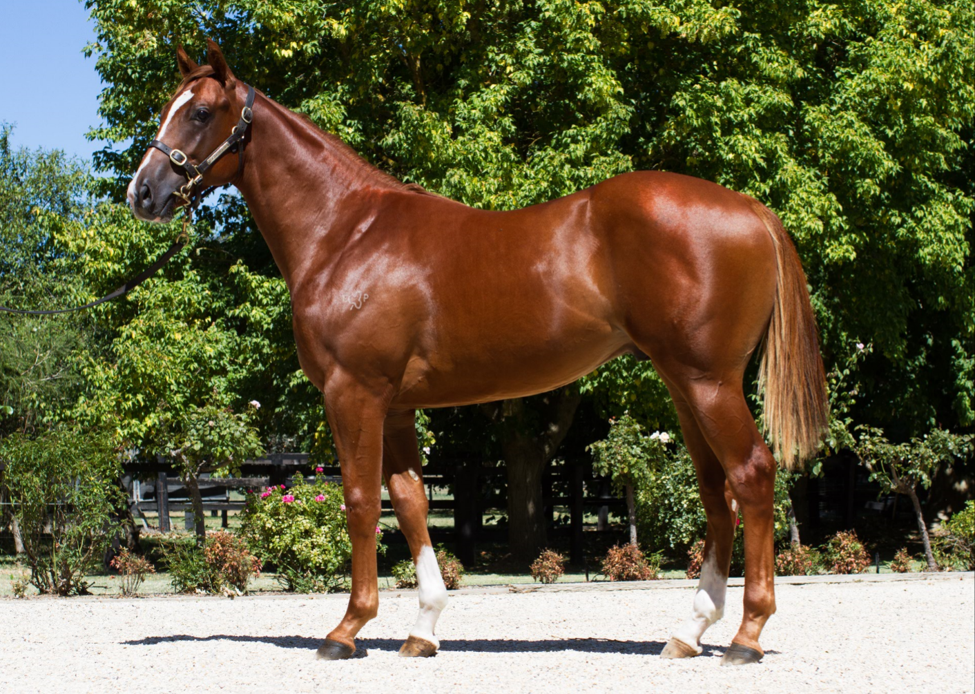 Supermax at 2018 Melbourne Premier Yearling Sale