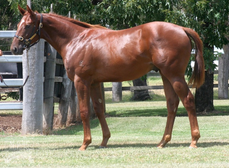 Smooth Hustler at 2015 Gold Coast March Yearling Sale
