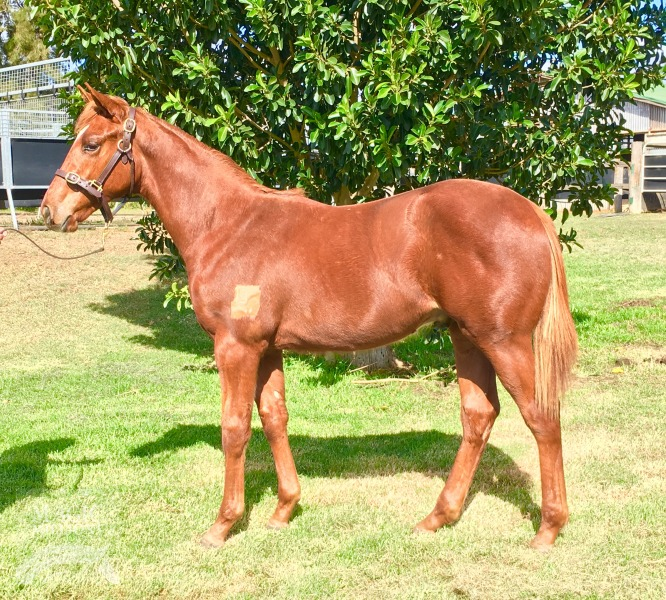 Karmazone at 2016 Gold Coast National Weanling Sale