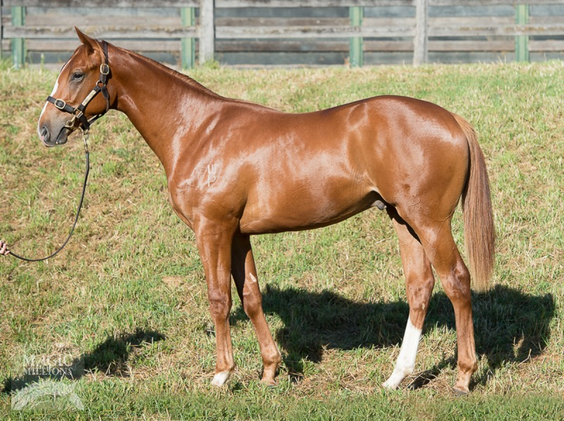 Reckless Choice at 2016 Gold Coast Yearling Sale