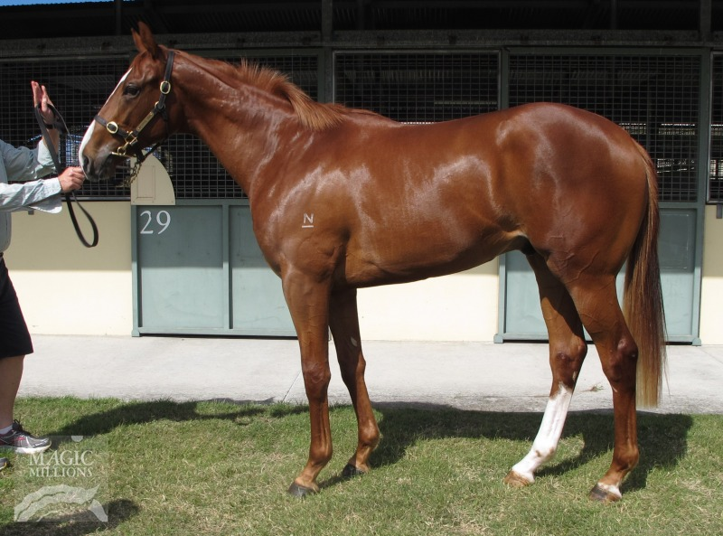 Snitch at 2016 Gold Coast 2YOs In Training Sale