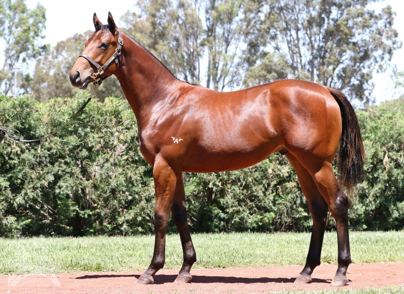 Starvirgo at 2017 Gold Coast Yearling Sale
