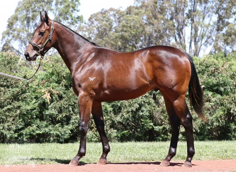 Icon at 2017 Gold Coast Yearling Sale